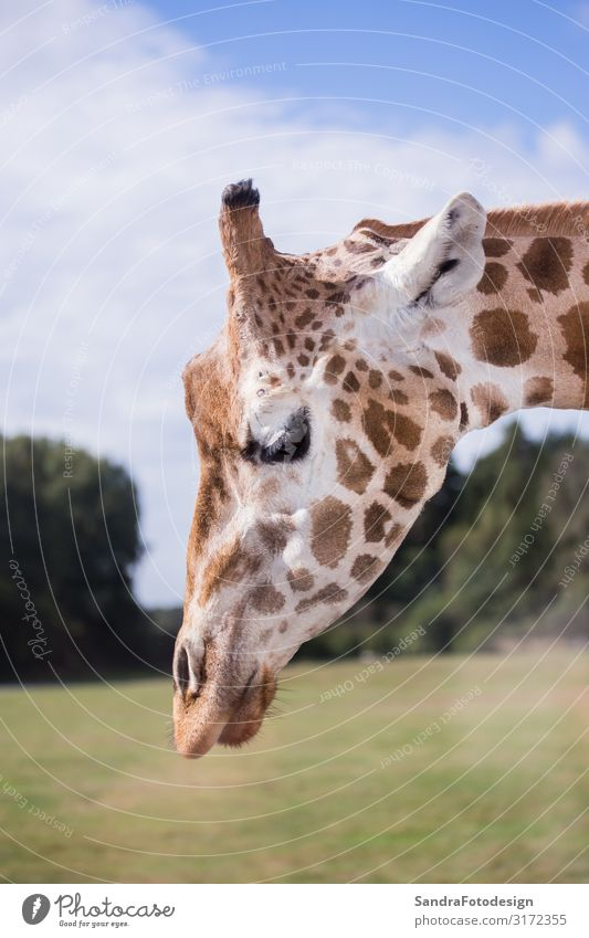 The head of a giraffe against a blue sky Ferien & Urlaub & Reisen Safari Zoo Natur Tier Wildtier 1 Coolness Neugier Tierliebe neck wild Afrika animal portrait