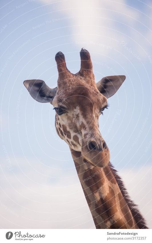 The head of a giraffe against a blue sky Ferien & Urlaub & Reisen Safari Zoo Natur Tier Wildtier 1 Coolness Neugier Tierliebe neck wild Afrika animal portrait