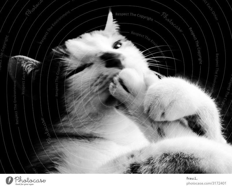 Gelenkig Tier Haustier Katze Fell 1 Tierjunges sitzen ästhetisch niedlich schön Sicherheit Geborgenheit Tierliebe Reinigen Fellpflege Pfote Schwarzweißfoto