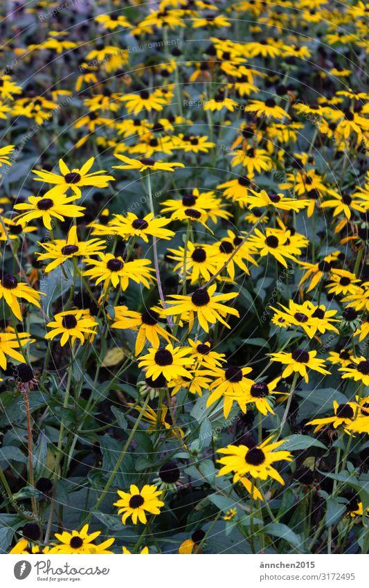 gelbe Blütenliebe Blume Herbst Blühend Natur Außenaufnahme grün schwarz pflücken Sommer