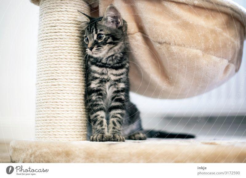 Smilla Häusliches Leben Wohnung Tier Katze Tiergesicht Savannah Maincoon 1 Tierjunges Kratzbaum hocken Blick authentisch klein niedlich Seite Geborgenheit