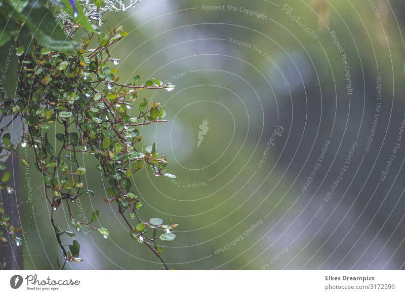 Nasse Blätter Natur Pflanze Wassertropfen Sommer Regen Blatt Grünpflanze hängen frisch Farbfoto Gedeckte Farben Außenaufnahme Tag