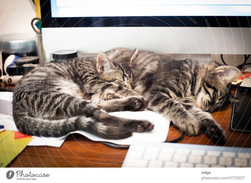 Bei der Arbeit sollst Du ruhn Lifestyle Häusliches Leben Wohnung Büroarbeit Computer Tastatur Haustier Katze 2 Tier Tierpaar Tierjunges Schreibtisch liegen