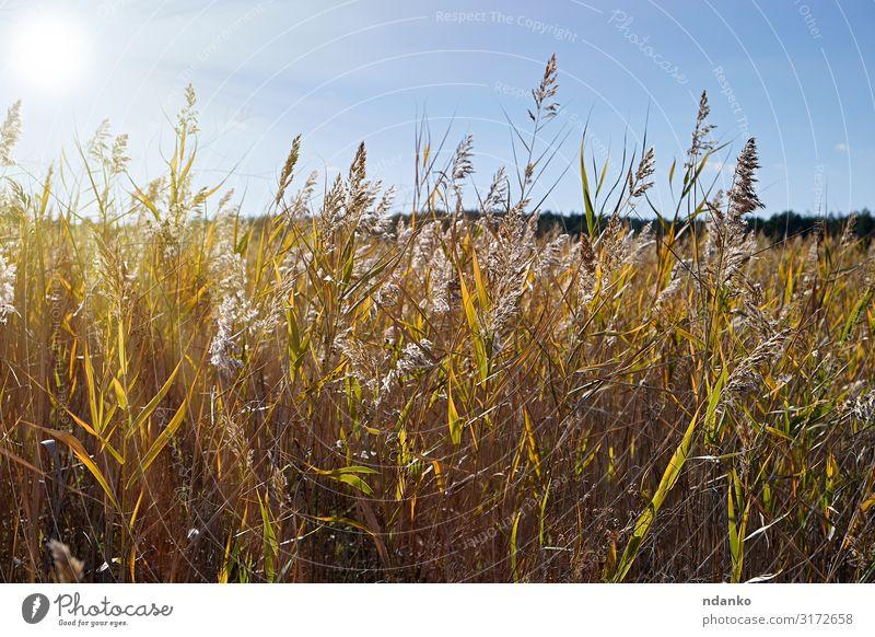 trockene Schilfhalme am Teich Sommer Sonne Umwelt Natur Landschaft Pflanze Himmel Herbst Gras Blatt Wiese See Wachstum natürlich wild braun gelb gold grün Ast
