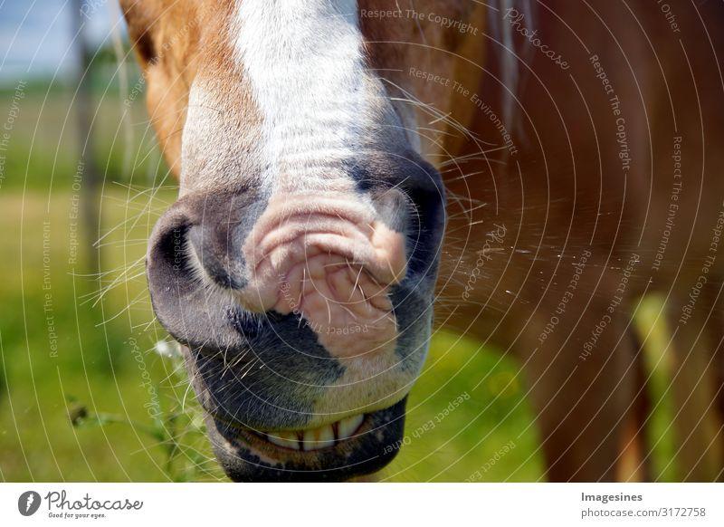 Krankes Pferd - Schnupfen. braunes Pferd niest Lifestyle Reitsport Reiten Gesundheit Krankheit nass Sauberkeit Reinheit Freizeit & Hobby Sport niesen Wiese