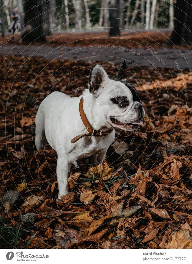 Iggy II Umwelt Natur Herbst Baum Blatt Wald Tier Haustier Hund 1 Lächeln stehen ästhetisch niedlich braun Freude Fröhlichkeit französische Bulldogge atmen