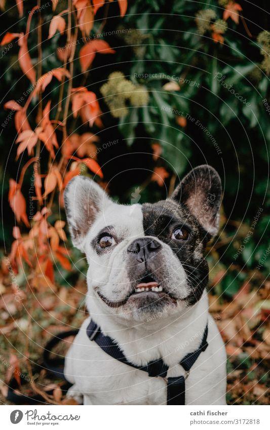 Iggy IV Natur Herbst Pflanze Sträucher Blatt Tier Haustier Hund 1 Lächeln lachen frech Freundlichkeit Fröhlichkeit Glück grün orange schwarz weiß Gefühle Freude