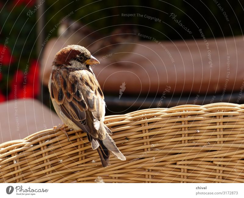 Logenplatz Ferien & Urlaub & Reisen Haus Innenarchitektur Möbel Sessel Stuhl Tier Wildtier Vogel 1 füttern sitzen stehen warten braun gelb grau weiß Farbfoto