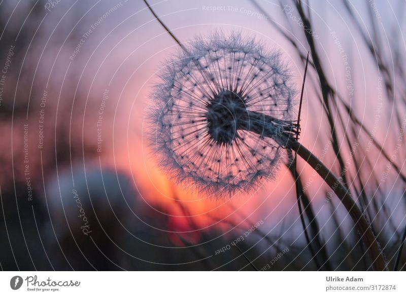 Pusteblume im Abendlicht Design Wellness harmonisch Meditation Spa Trauerkarte Trauerfeier Beerdigung Natur Pflanze Sommer Herbst Blume Blüte Löwenzahn Wiese