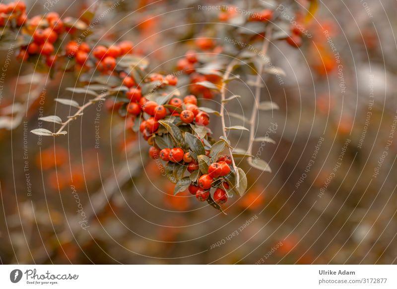 Rote Beeren der Zwergmispeln (Cotoneaster). Bei Vögeln sehr beliebt als Nahrungsquelle im Herbst. Vogelfutter Natürlich Viele Außenaufnahme Pflanze Sträucher