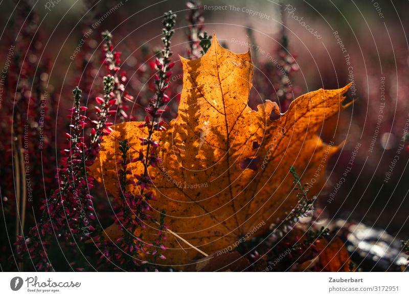 Herbstlicht Blatt Ahorn Ahornblatt Heidekrautgewächse Blick träumen natürlich schön braun gold violett Sympathie Farbe Natur Vergänglichkeit Herbstlaub