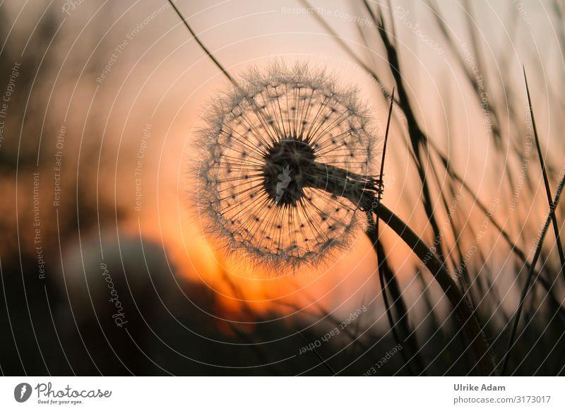 Pusteblume im Abendlicht Wellness Leben harmonisch Wohlgefühl Zufriedenheit Erholung ruhig Meditation Spa Trauerkarte Postkarte Trauerfeier Beerdigung Natur