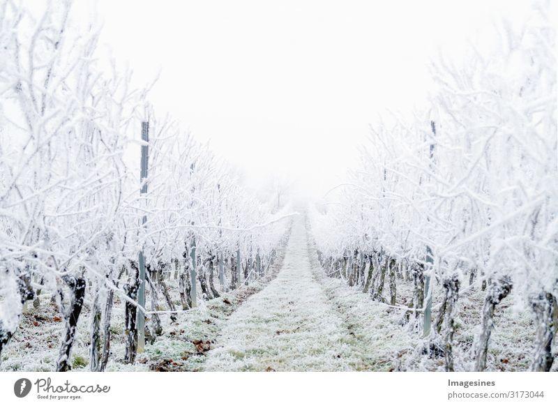"""Winter Landschaft Weinberg Natur Wetter schlechtes Wetter Nebel Eis Frost Hagel Schnee Schneefall kalt weiß Klima """"Schneebedeckt Weinberge Eisregen Tag Eisig"""