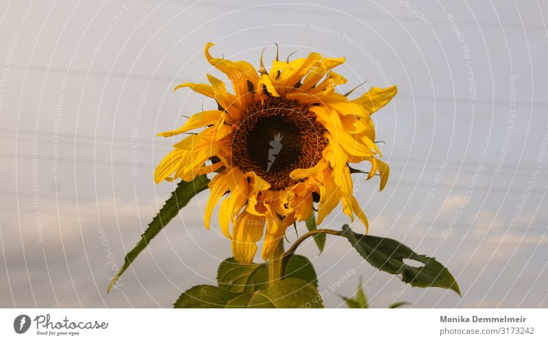 Sonnenblume Natur Landschaft Pflanze Himmel Herbst Blume Feld Dorf schön gelb Glück Kraft Tatkraft Zusammensein Sunflower Autumn Fotografie Heimat Blumen