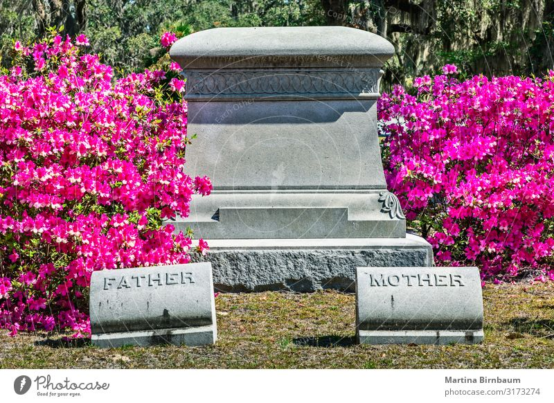 Rosa blühende Azaleenbüsche und ein leerer Grabstein Mutter Erwachsene Vater Landschaft Gebäude Architektur Denkmal Stein dunkel gruselig historisch grün rosa