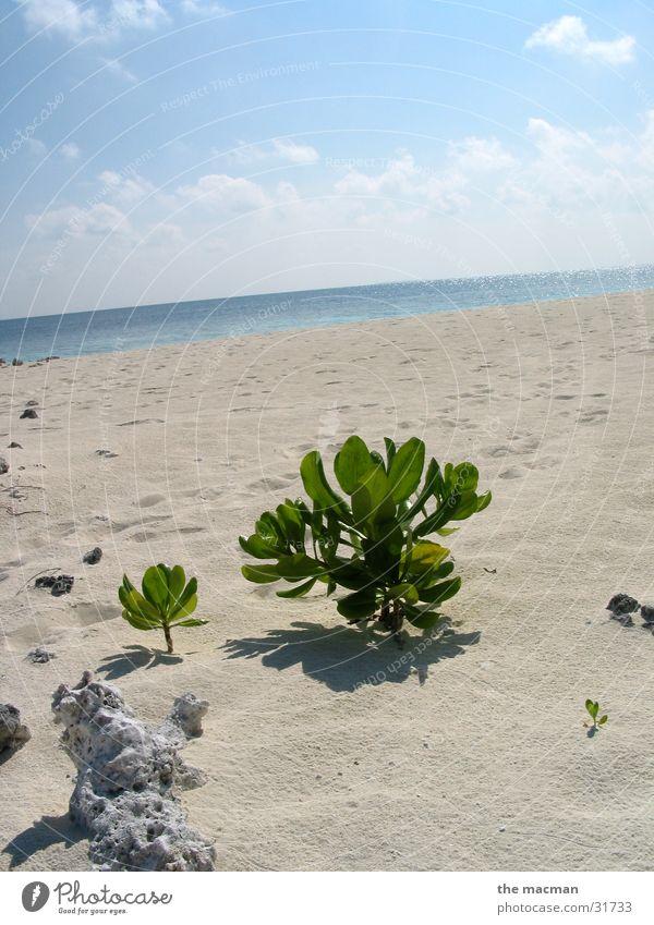 Die einsame Pflanze Strand ruhig Insel Malediven Afrika Evolution