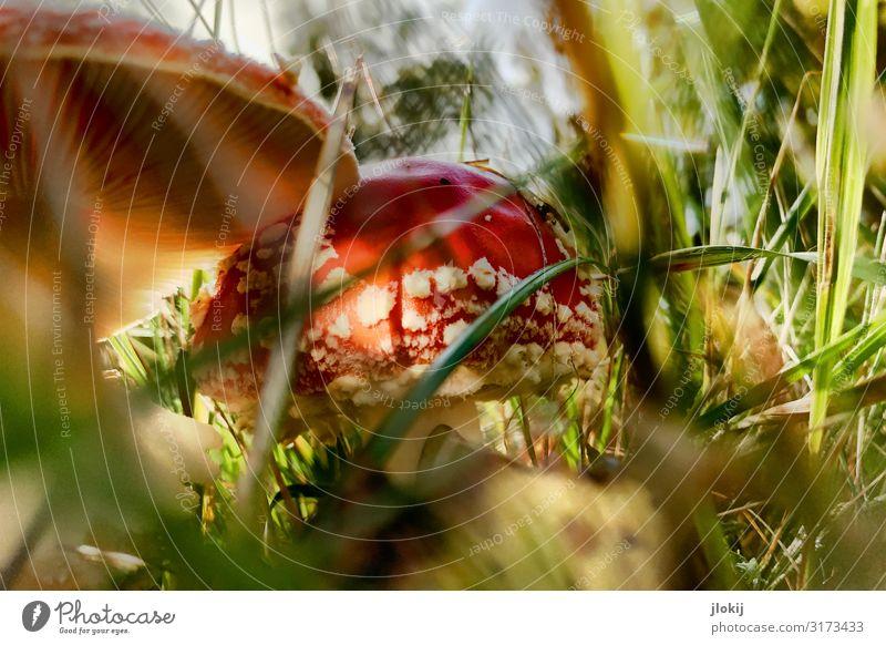 Toxisches Idyll Pilz Pilzhut Umwelt Natur Pflanze Herbst Gras Wildpflanze Wiese Wald grün rot Gift Fliegenpilz Sporen Lamelle Farbfoto mehrfarbig Außenaufnahme