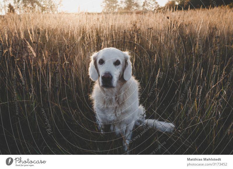 Golden Retriever im Feld Natur Hund Landschaft Sonne Tier Herbst Umwelt natürlich braun Freundschaft sitzen niedlich Haustier Vertrauen Tierliebe