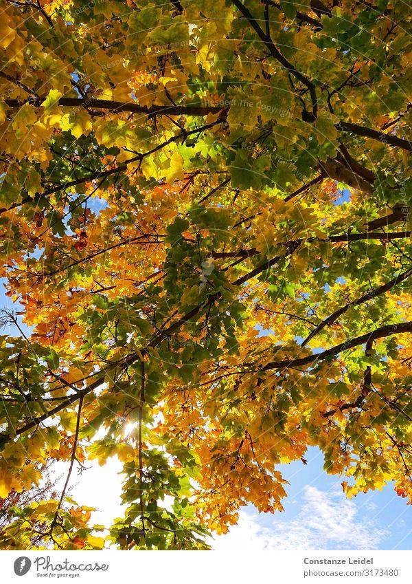 Herbstlaub Umwelt Natur Pflanze Luft Himmel Schönes Wetter Baum Blatt Zufriedenheit Glück Idylle Kraft Perspektive Stimmung träumen Farbfoto mehrfarbig