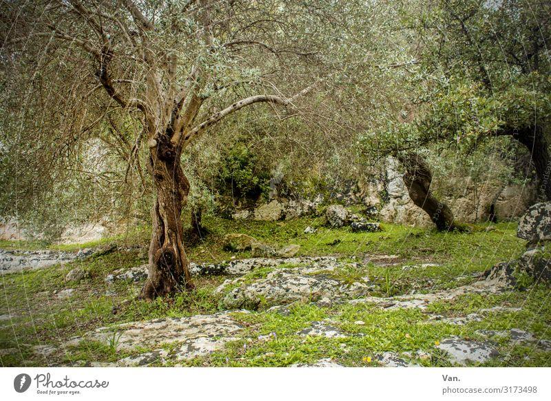 Ich glaub ich steh im Wald Natur Landschaft Sommer Pflanze Baum Gras Sträucher Moos Olivenbaum Felsen schön grau grün Idylle mystisch alt vergangen Farbfoto