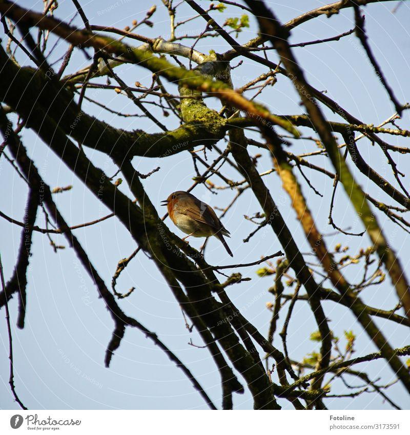 Rotkehlchen Umwelt Natur Pflanze Tier Himmel Wolkenloser Himmel Frühling Baum Park Wald Wildtier Vogel 1 frei hell klein natürlich blau braun grün Gezwitscher