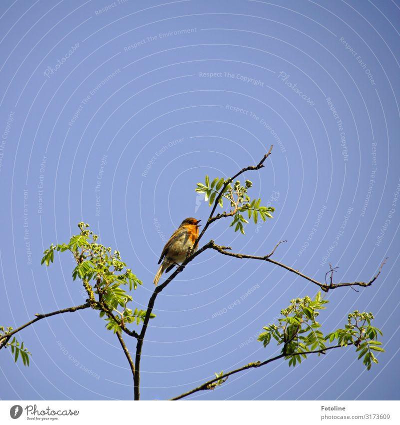 Kleiner Sänger Umwelt Natur Pflanze Tier Himmel Wolkenloser Himmel Frühling Schönes Wetter Baum Park Wildtier Vogel 1 frei hell klein natürlich blau braun grün