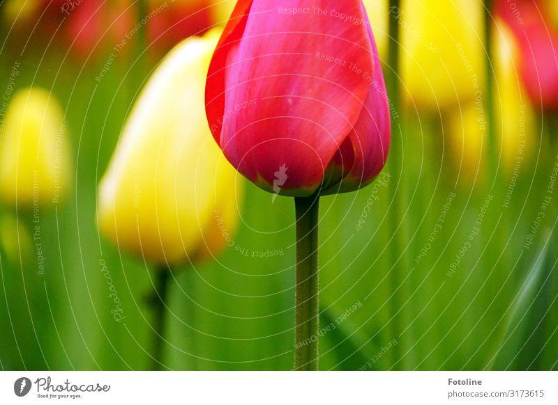 Tulpenblüte Umwelt Natur Pflanze Frühling Schönes Wetter Blume Blüte Grünpflanze Garten Park ästhetisch Duft natürlich Wärme mehrfarbig gelb grün rosa