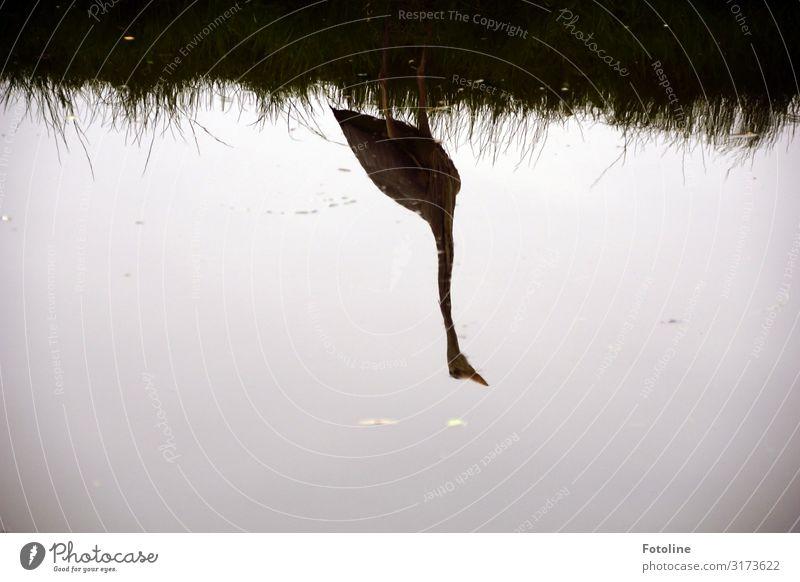 Spiegelung Umwelt Natur Pflanze Tier Urelemente Wasser Frühling Gras Küste Flussufer Wildtier Vogel 1 ästhetisch frei nah nass natürlich grau schwarz Reiher