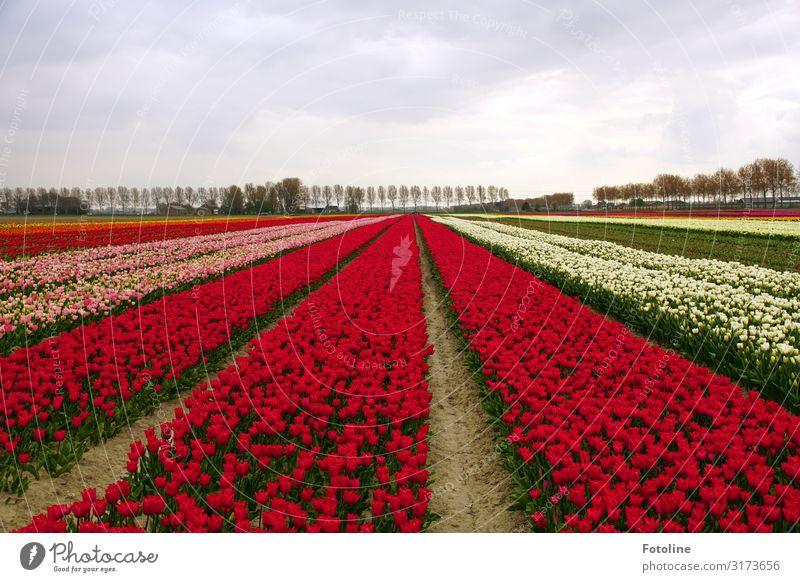 Blütenmeer Umwelt Natur Landschaft Pflanze Urelemente Erde Sand Himmel Wolken Frühling Baum Blume Tulpe Nutzpflanze Park hell mehrfarbig grün rosa rot weiß