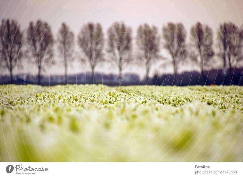 Weiße Tulpen Umwelt Natur Landschaft Pflanze Himmel Wolken Frühling Baum Blume Blüte Nutzpflanze Park Feld Duft nah natürlich grau schwarz weiß Ferne Tulpenfeld