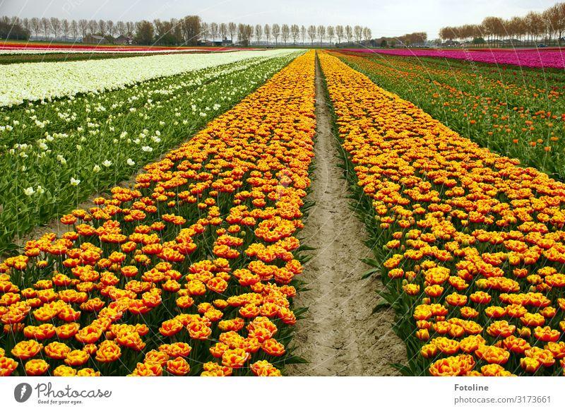 Tulpen über Tulpen Umwelt Natur Landschaft Pflanze Urelemente Erde Sand Himmel Wolkenloser Himmel Frühling Baum Blume Nutzpflanze Park Feld Duft nah natürlich