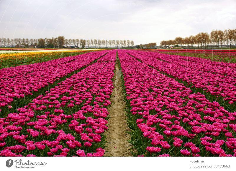 Noch mal in pink Umwelt Natur Landschaft Pflanze Urelemente Erde Sand Himmel Wolken Frühling Baum Blume Tulpe Blüte Nutzpflanze Park Feld Duft hell natürlich