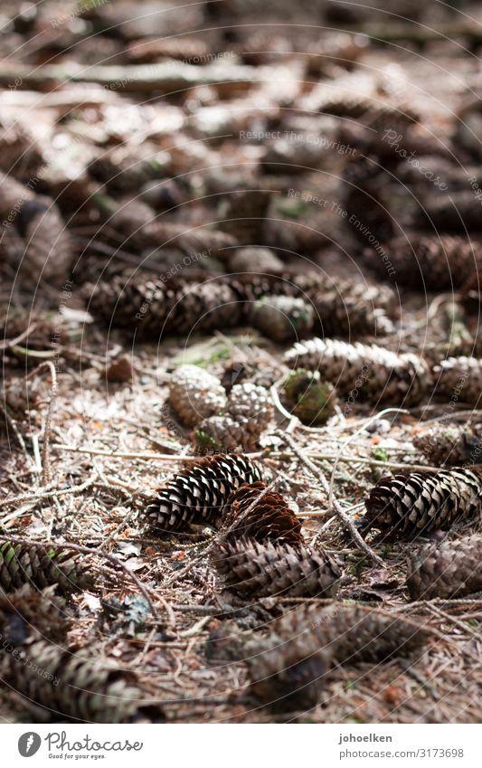 Kiefernzapfen auf Waldboden Tannenzapfen Tannennadeln Herbst Oktober Sonnenfleck Schatten Natur braun Außenaufnahme Menschenleer Samen Schwache Tiefenschärfe