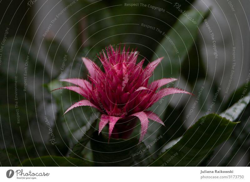 Pink in the dark Umwelt Natur Pflanze Klima Blume Blüte exotisch Botanik Botanischer Garten tropisch Urwald ästhetisch dunkel schön feminin grün rosa