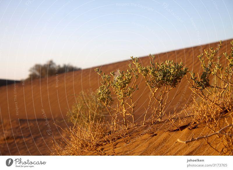 Wasserspeicher Urelemente Erde Sand Wolkenloser Himmel Sommer Klimawandel Pflanze exotisch Sukkulenten Wüste Sahara dehydrieren Wachstum Ferne heiß trocken