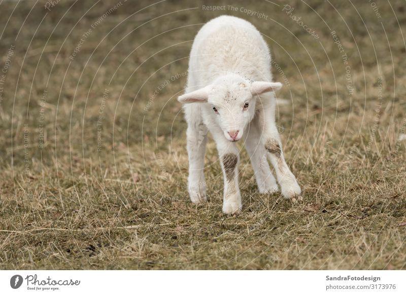 A little sheep is standing in the meadow Sommer Natur Park Tier Nutztier Zoo Streichelzoo 1 füttern springen Warmherzigkeit mammal lamb agriculture young wool