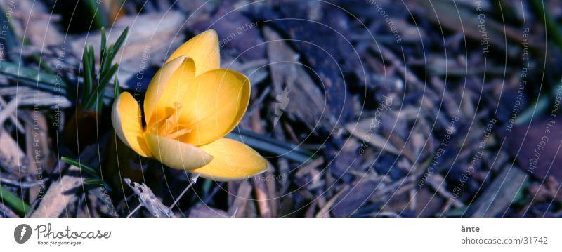 Krokus Krokusse gelb Blume Frühling sprießen aufwachen Dreieck frisch grell typisch Einsamkeit Licht springen Blüte Frühlingsblume Winter Februar März Hoffnung