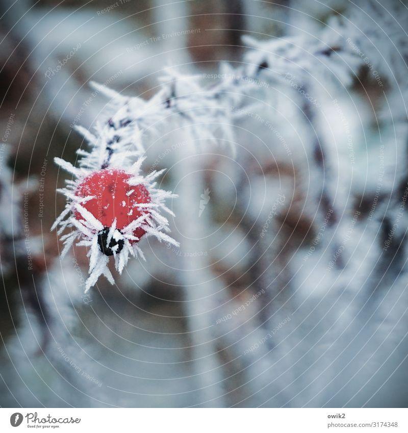 Unterkühlt Umwelt Pflanze Winter Eis Frost Wildpflanze Hagebutten Zweig kalt nah Spitze stachelig rot Eiskristall gefroren Farbfoto Außenaufnahme Nahaufnahme
