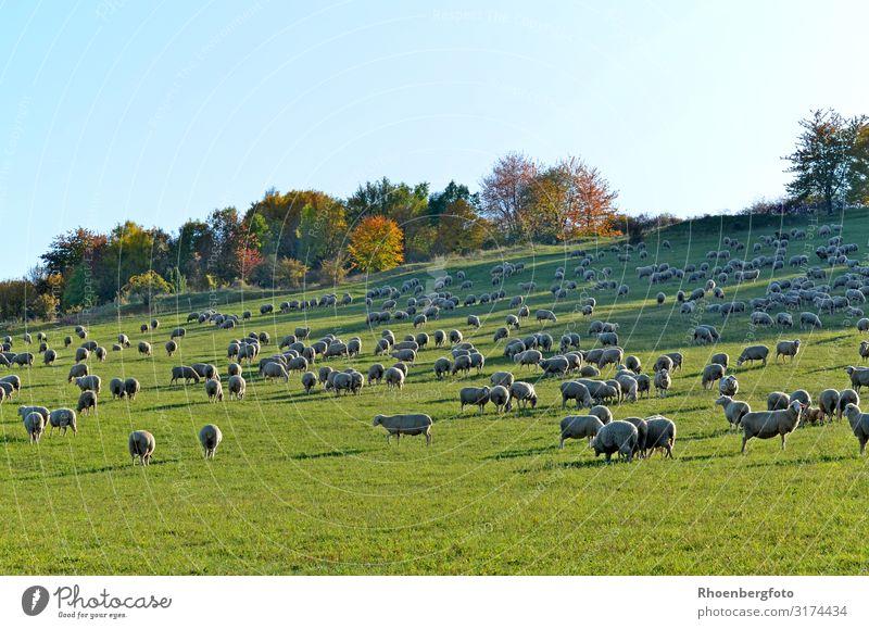 Schafherde Natur Pflanze Landschaft Tier Herbst Umwelt Gras wandern Wetter Haustier Klimawandel Herde Nutztier