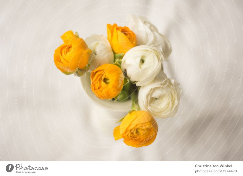 Ranunkelblüten in einer weißen Vase auf hellem Untergrund Pflanze Blume Blüte Blumenstrauß ästhetisch außergewöhnlich Duft elegant Freundlichkeit Fröhlichkeit