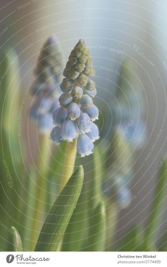 Traubenhyazinthen Pflanze Blume Blatt Blüte Frühblüher Zwiebelblume ästhetisch authentisch außergewöhnlich Duft elegant Fröhlichkeit hell schön klein nah