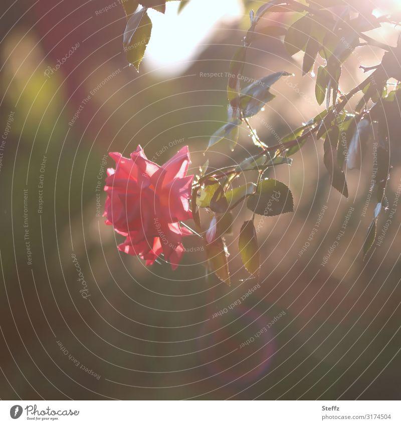 Herbstrose Umwelt Natur Pflanze Blume Blüte Rose Rosenblätter Garten Blühend dunkel natürlich schön braun rosa achtsam ruhig Lichtstimmung Stimmung