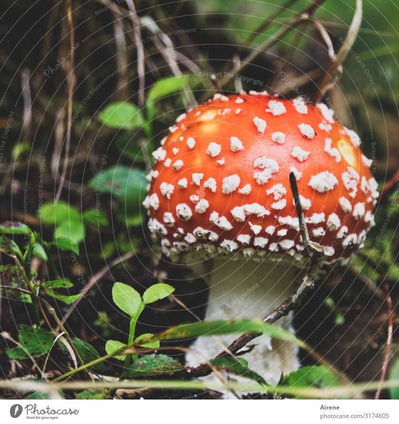 Glückspilz 2020 Feste & Feiern Silvester u. Neujahr Sommer Herbst Blatt Fliegenpilz Wald leuchten Fröhlichkeit schön rot weiß Zufriedenheit Lebensfreude