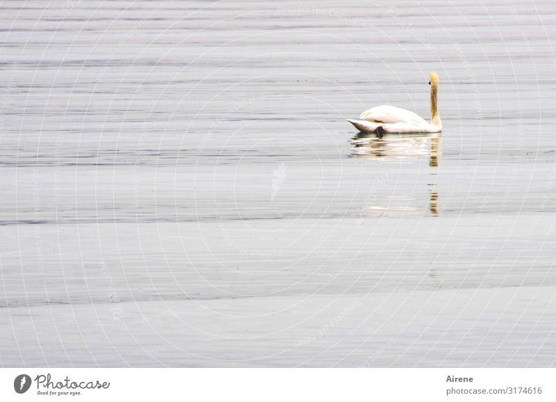 See mit Schwan | AST7 Bodensee Urelemente Wasser Wellen 1 Tier Schwimmen & Baden frei dünn weiß Romantik schön Wachsamkeit Gelassenheit ruhig Stolz ästhetisch