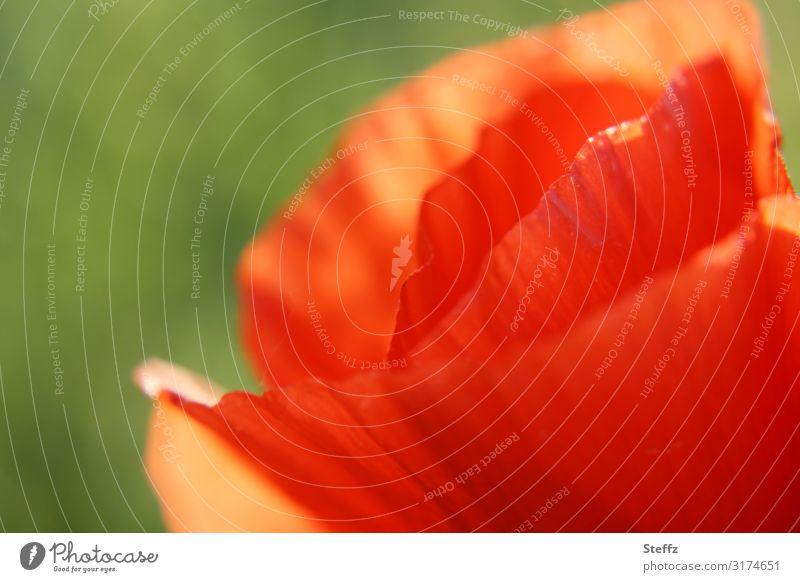 bisschen von Mohn Umwelt Natur Pflanze Sommer Blume Blüte Wildpflanze Mohnblüte Sommerblumen Blütenblatt Wiese Blühend natürlich verrückt schön grün orange rot
