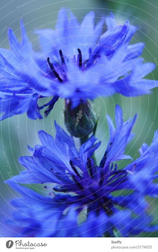 Königsblau Umwelt Natur Pflanze Sommer Blume Blüte Wildpflanze Kornblume Sommerblumen Garten Feld Deutschland Europa Blühend nah natürlich schön Romantik