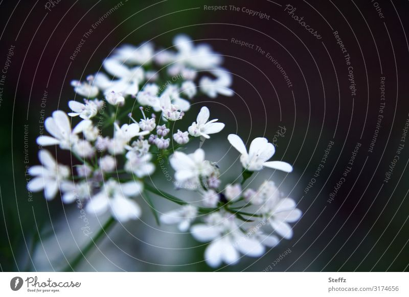Blümchenherz Umwelt Natur Sommer Pflanze Blume Blüte Wildpflanze Doldenblüte Wiesenblume Kuh-Petersilie Wiesenkerbel Sommerblumen Kerbel Blühend klein natürlich