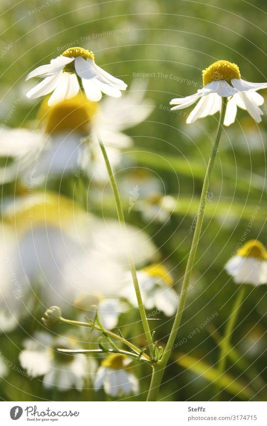 wilde Kamille Umwelt Natur Pflanze Sommer Blume Blüte Wildpflanze Kamillenblüten Heilpflanzen Wiese Feld Blühend Wachstum Gesundheit natürlich schön gelb grün