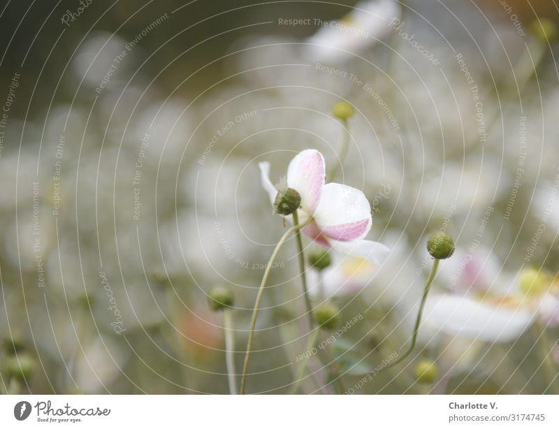 Planten und Blomen I | UT HH19 Umwelt Natur Pflanze Blüte Wildpflanze Schmuckkörbchen Garten Park Blühend Duft ästhetisch einfach elegant schön natürlich weich