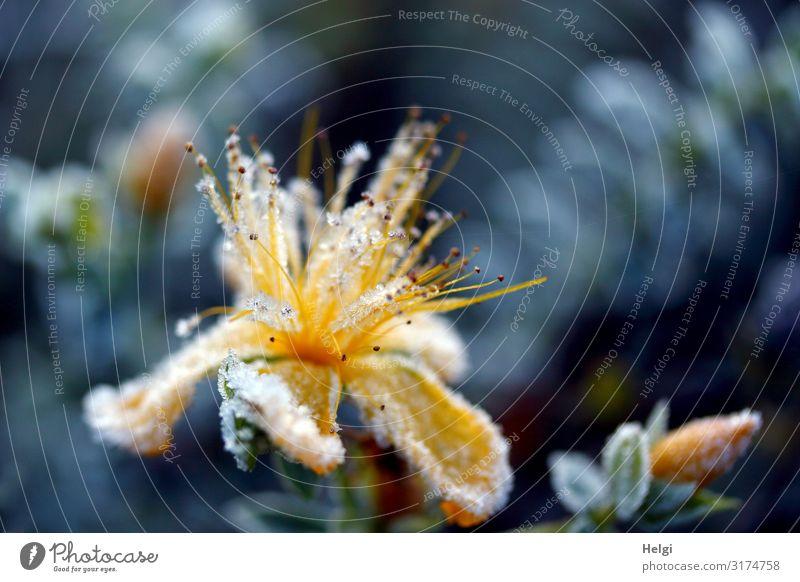 mit Eiskristallen bedeckte gelbe Blüte im Herbst vor blauem Hintergrund Umwelt Natur Pflanze Frost Blume Blatt Blütenknospen Park Blühend frieren ästhetisch